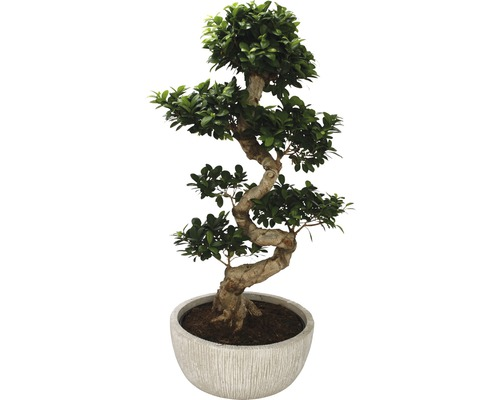 zimmerbonsai ficus ginseng in schale h 100 kaufen bei. Black Bedroom Furniture Sets. Home Design Ideas