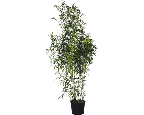 bisset bambus phyllostachys bissetii floraself 200 250 cm. Black Bedroom Furniture Sets. Home Design Ideas