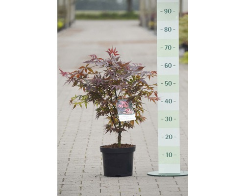 érable Du Japon Acer Palmatum Skeeters Broom H 50 60 Cm Co 4 L
